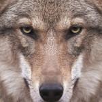 As ovelhas que não enxergam os lobos